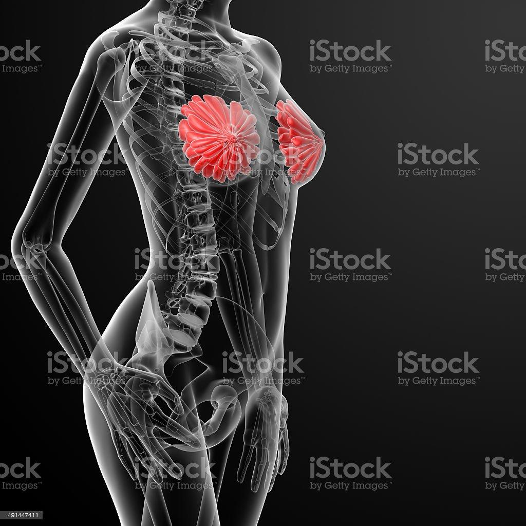 3 D Render Weibliche Brust Anatomie Xray - Stockfoto | iStock