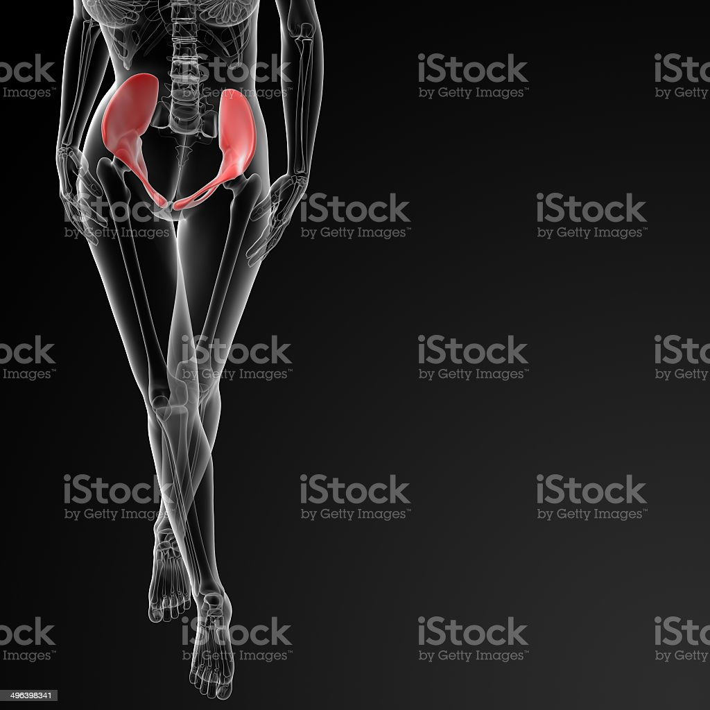 3d render female hip bone - front view stock photo