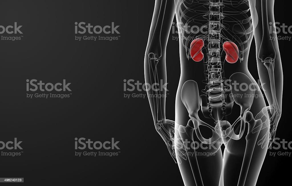 Human Kidneys Anatomy Stock Photo - Download Image Now