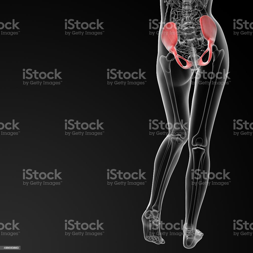 Female Pelvic Bone Anatomy Diagram