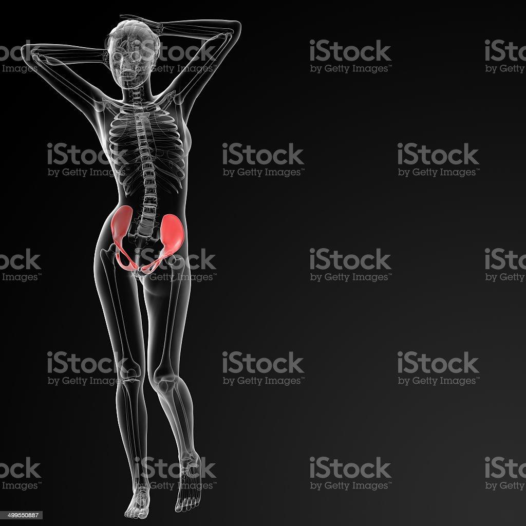 3d Render Female Pelvis Bone Stock Photo & More Pictures of Anatomy ...