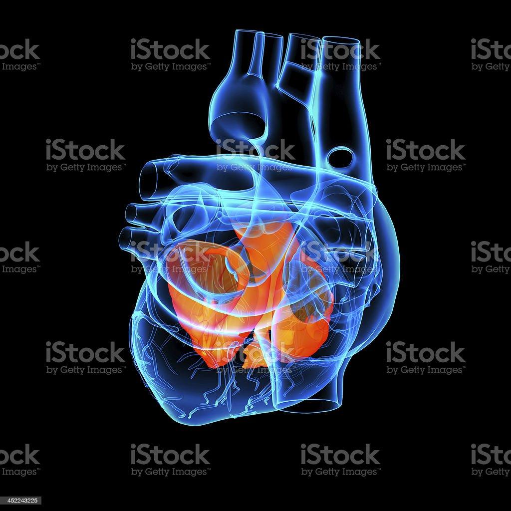 3d render Heart atrium - back view stock photo