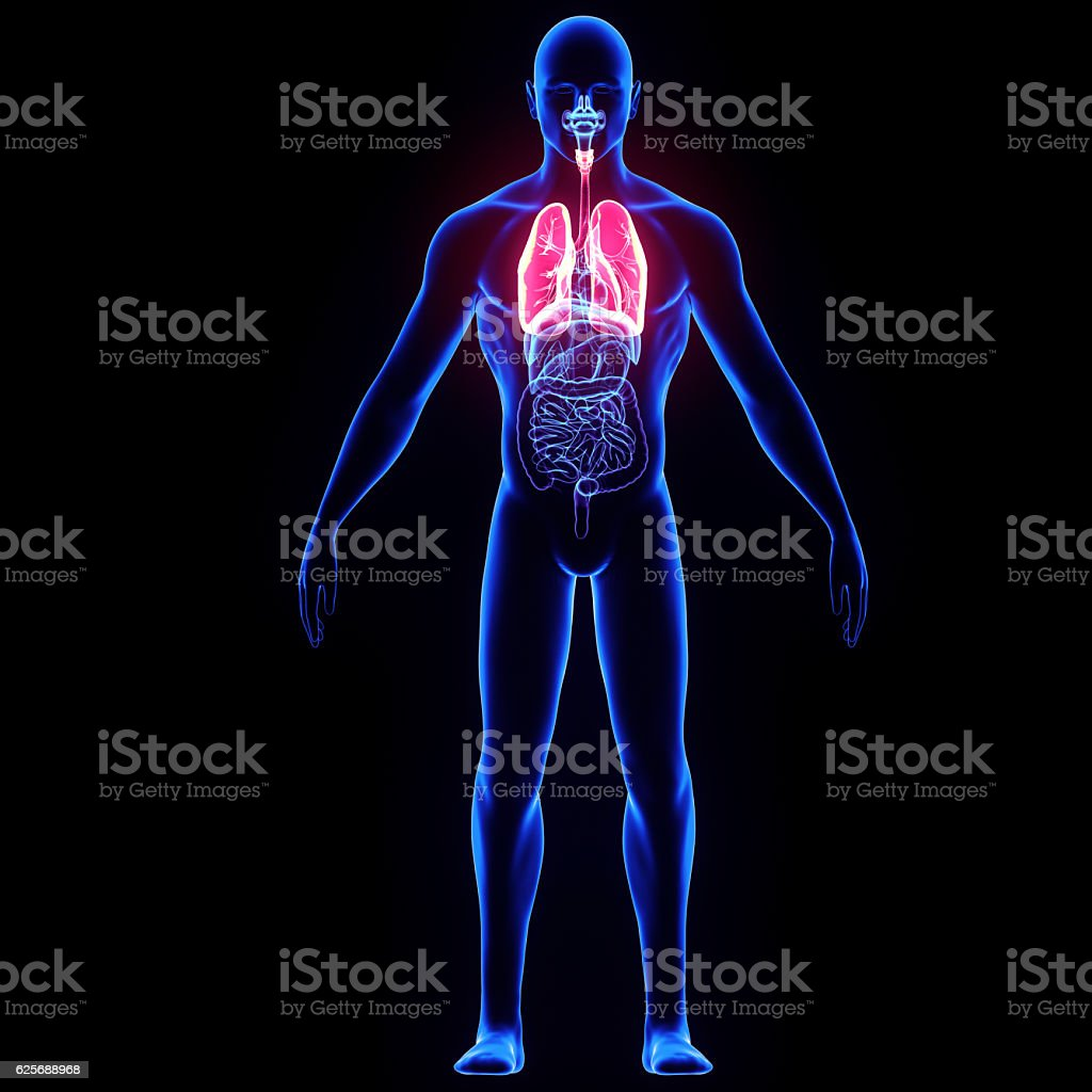 3d render  human body lungs stock photo