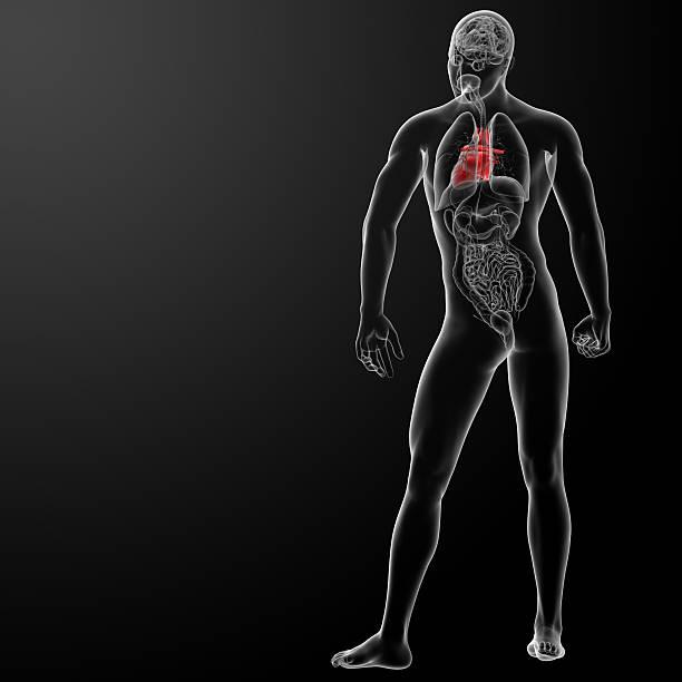3d render human heart anatomy stock photo