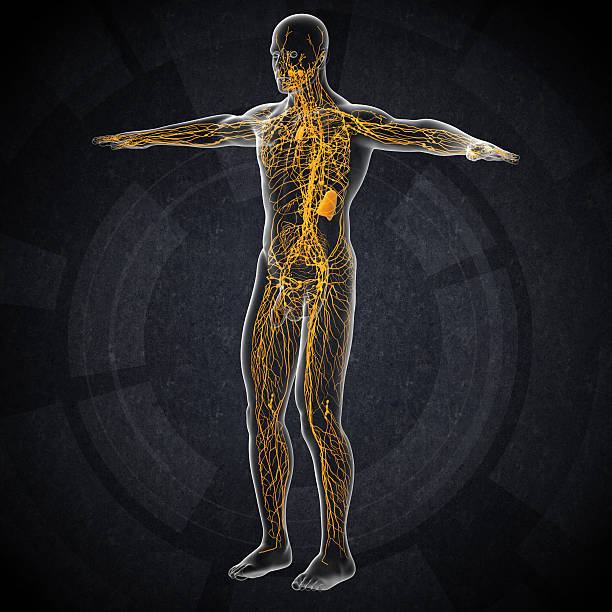 3d render illustration of the male lymphatic system 3d render illustration of the male lymphatic system - side view intercostal space stock pictures, royalty-free photos & images