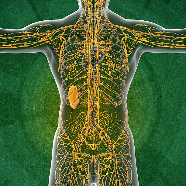 3d render illustration of the male lymphatic system 3d render illustration of the male lymphatic system - back view intercostal space stock pictures, royalty-free photos & images