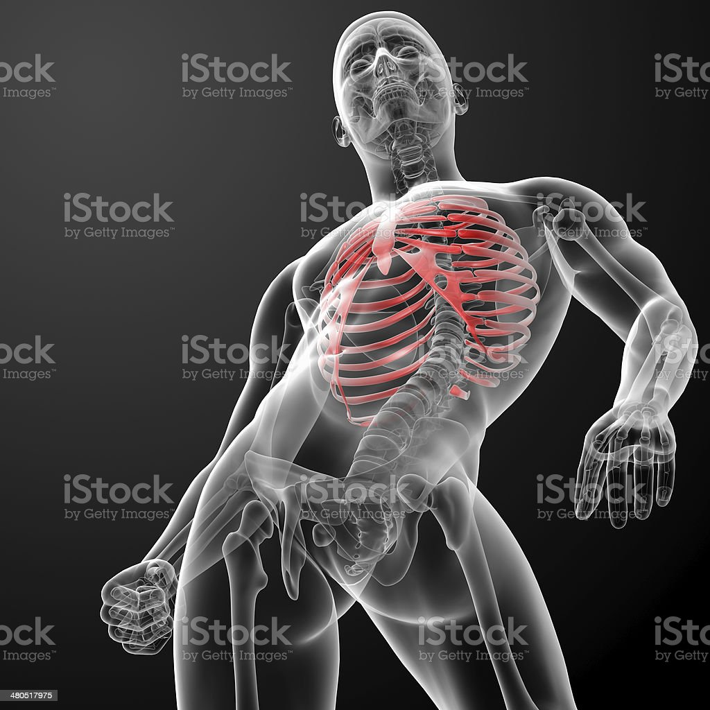 3d render illustration of the rib cage royalty-free stock photo