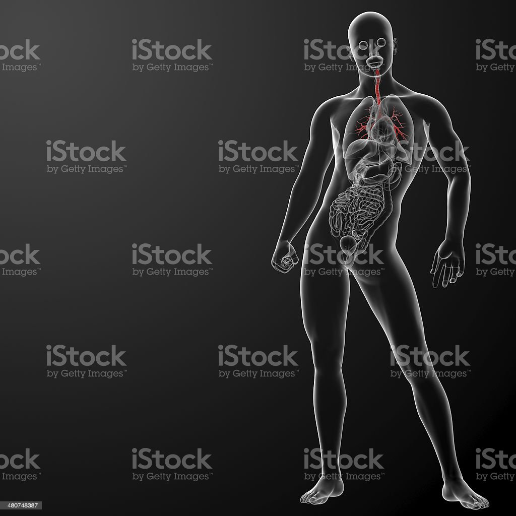 3d render lungs with visible bronchi stock photo