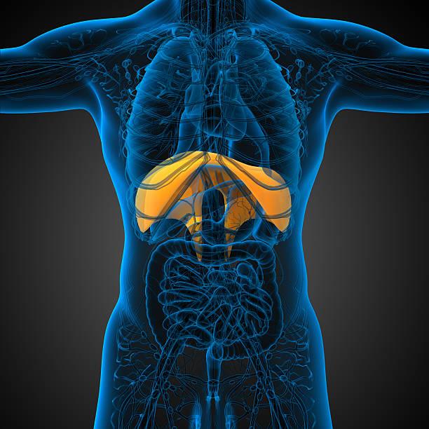 3 d render medizinische illustration der Zwerchfell – Foto
