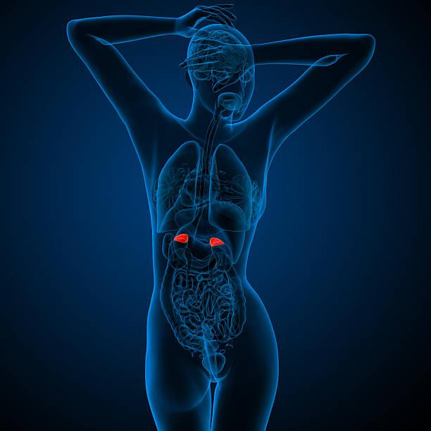 3 d render medizinische illustration der menschlichen adrenal Drüsen – Foto