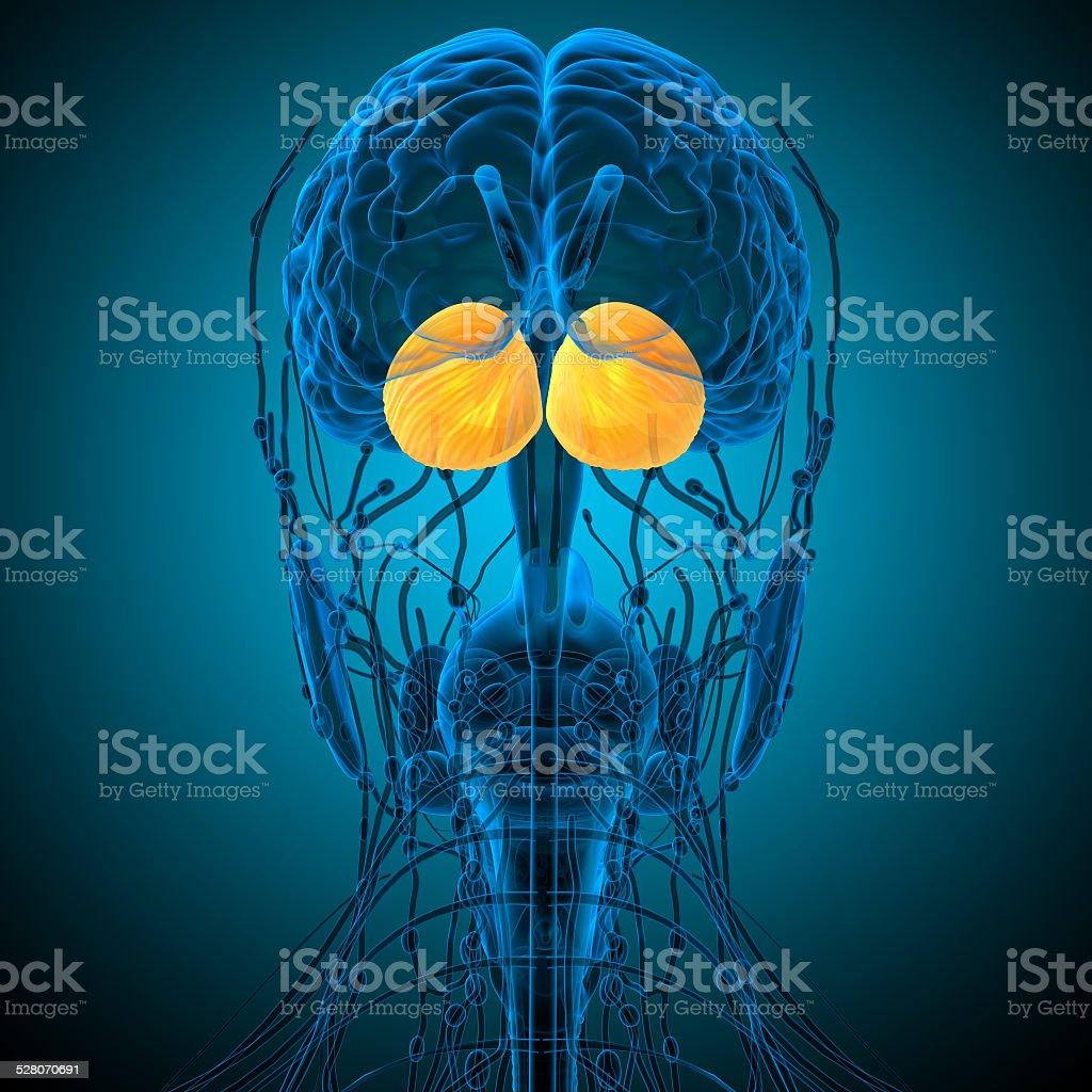 3 D Render Medizinische Illustration Der Menschlichen Gehirn ...