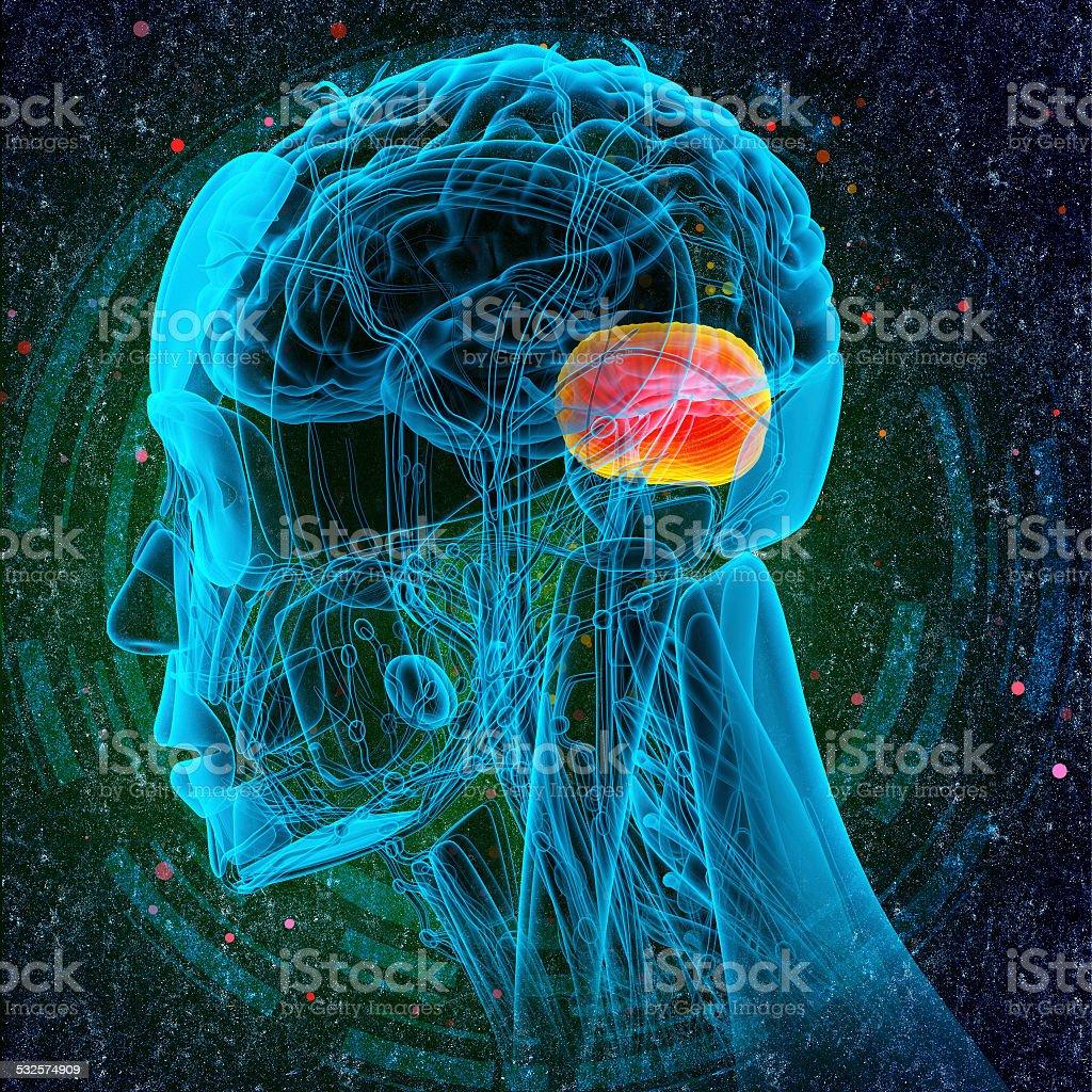 3d render medical illustration of the human brain cerebrum stock photo