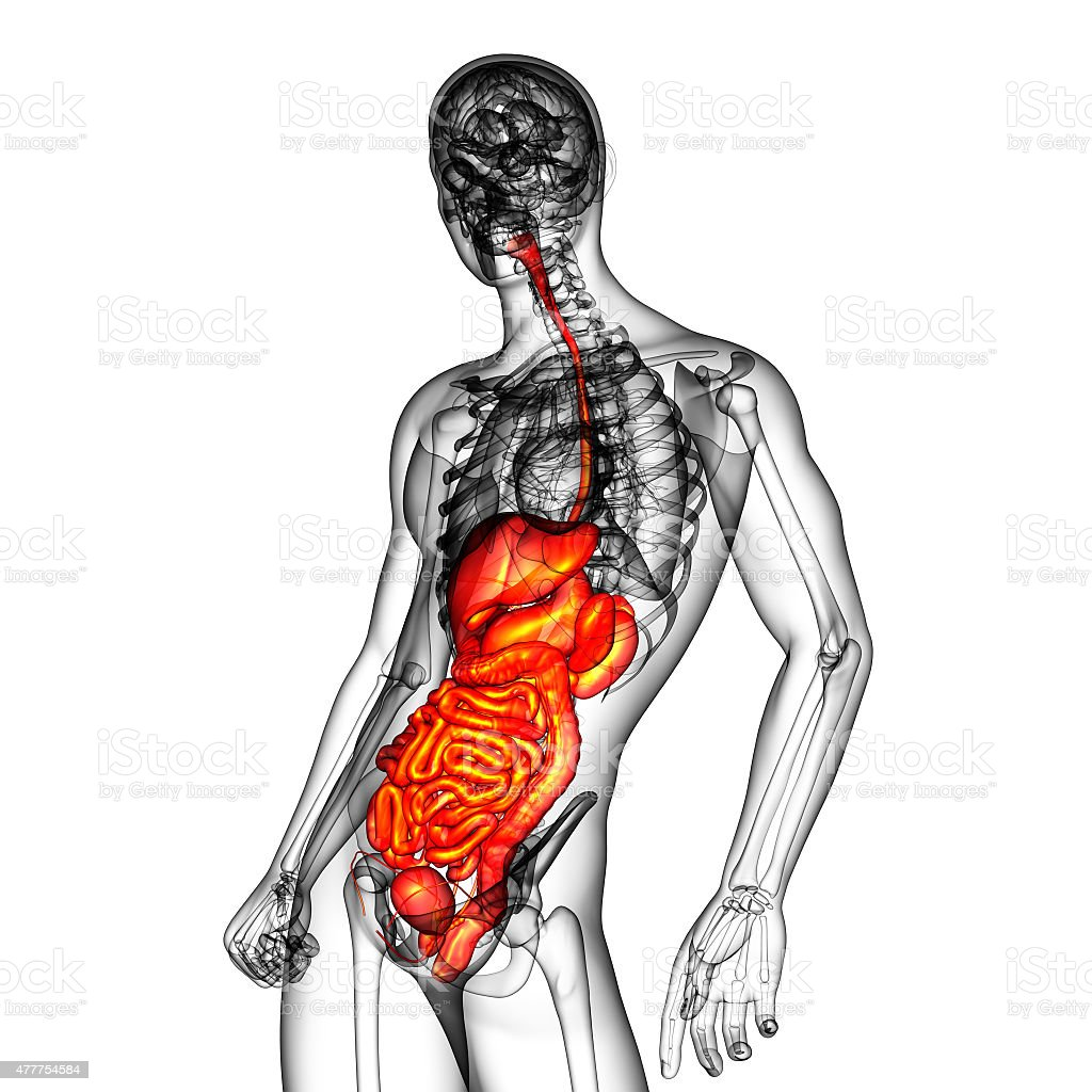 3d Render Medical Illustration Of The Human Digestive System stock ...