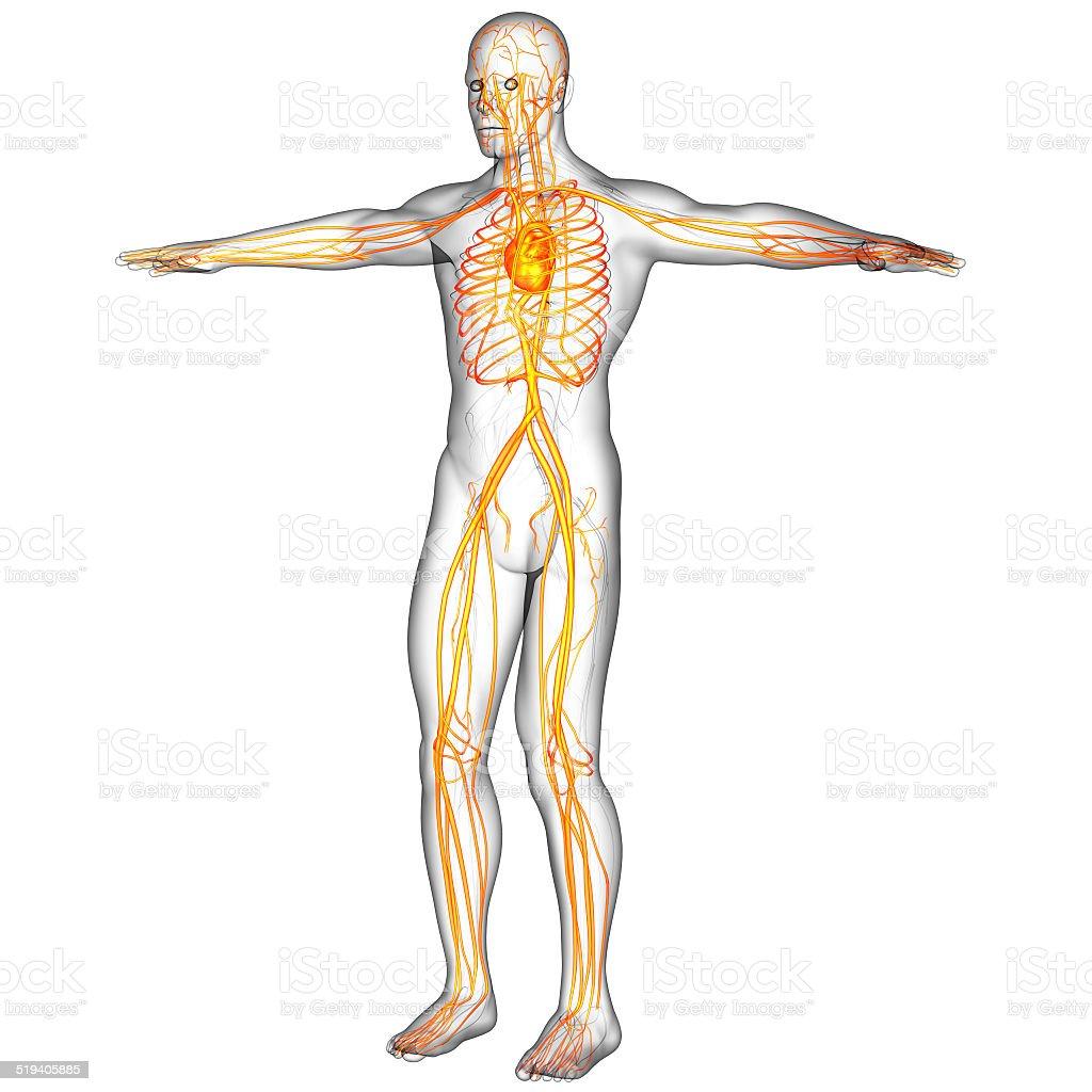 3d Render Medical Illustration Of The Human Vascular System Stock