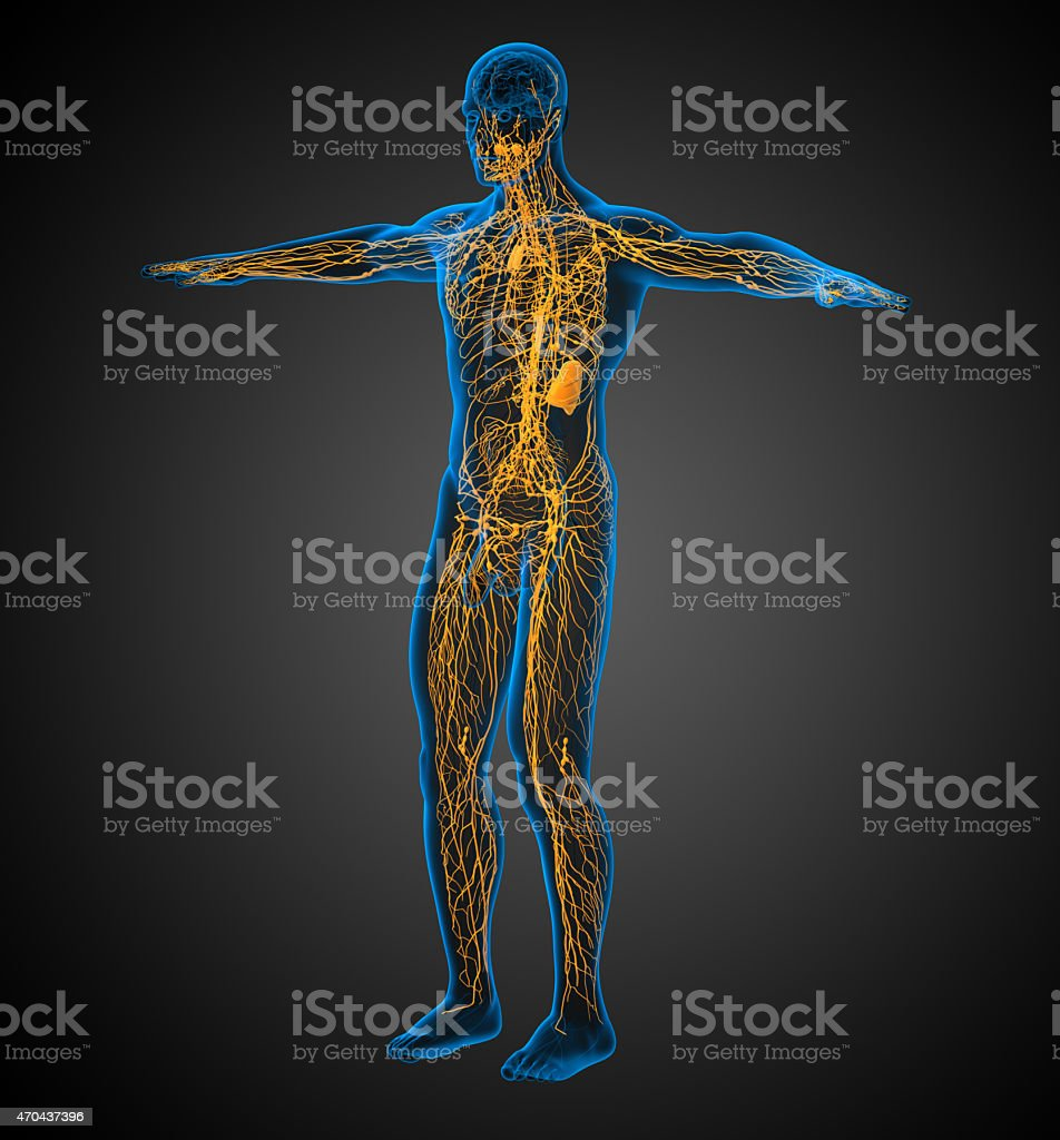 3d Render Medical Illustration Of The Lymphatic System Stock Photo