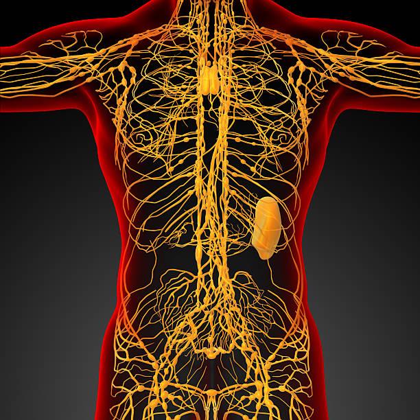 3 d render medizinische illustration des Lymphsystem – Foto