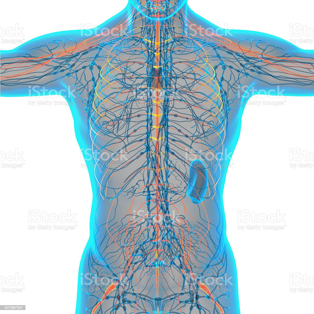 3d render medical illustration of the nerve system stock photo