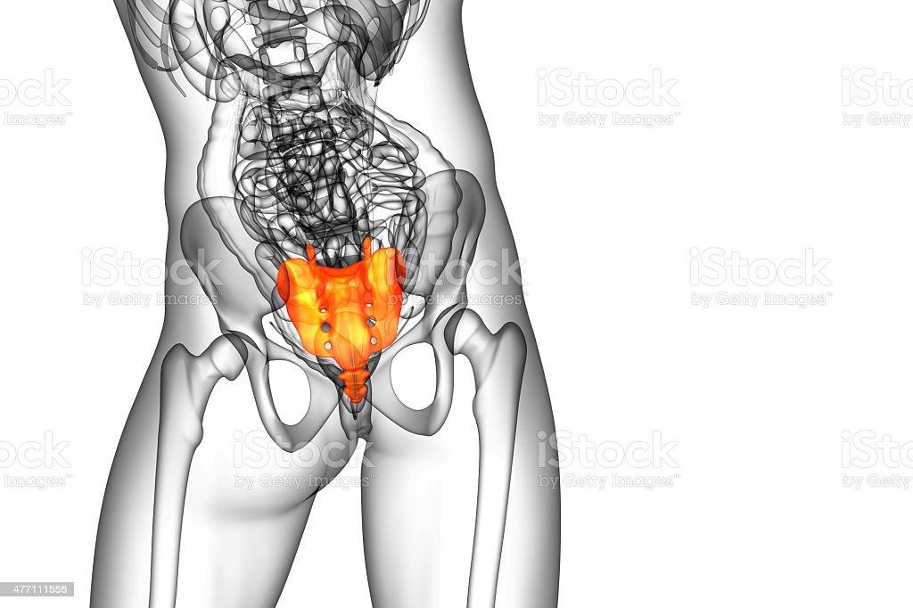 3d render medical illustration of the sacrum bone stock photo