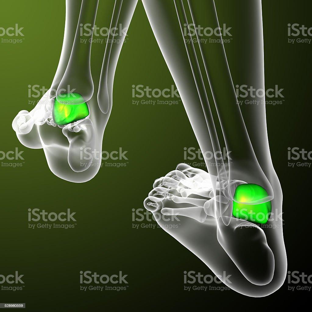 3d render medical illustration of the talus bone stock photo