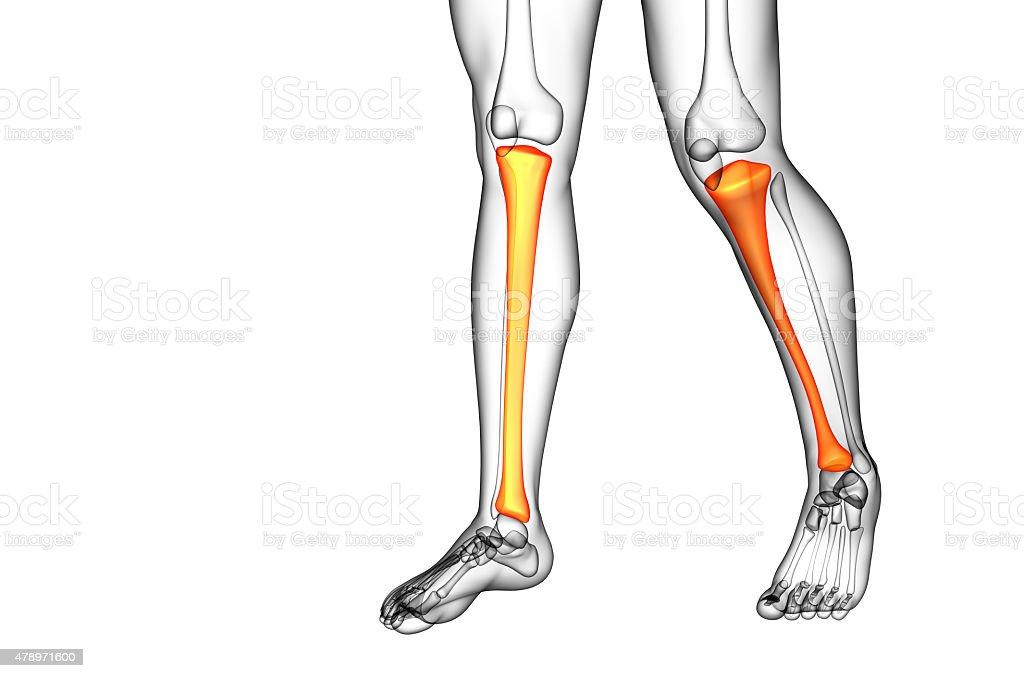 3d Render Medical Illustration Of The Tibia Bone Stock Photo More