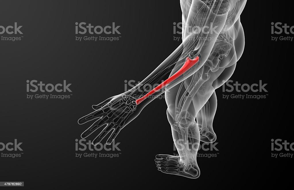 3d render medical illustration of the ulna bone - stock image