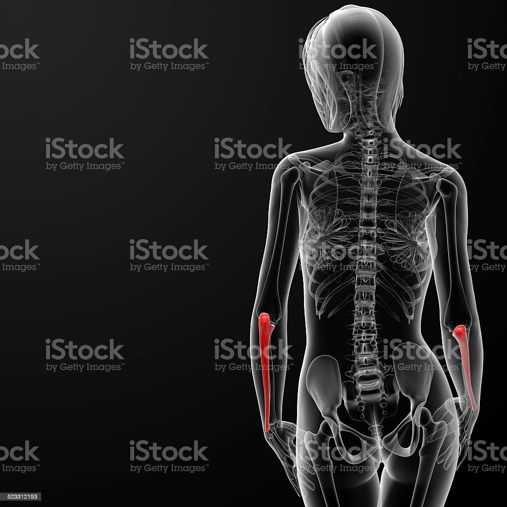 3d Render Medical Illustration Of The Ulna Bone Stock Photo More