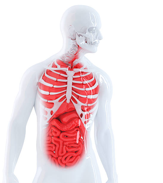 3d render of a human anatomy. Isolate. Contains clipping path. stock photo