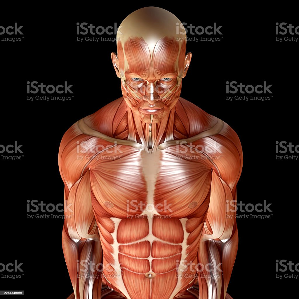 3d render of a male muscular anatomy stock photo
