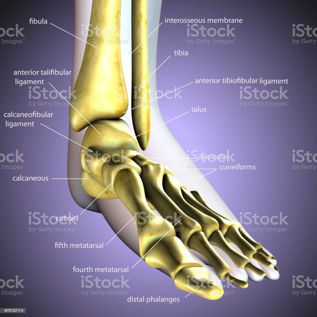 3d Render Of Foot Anatomy Bones Foot Bone Metatarsal Bone Stock ...