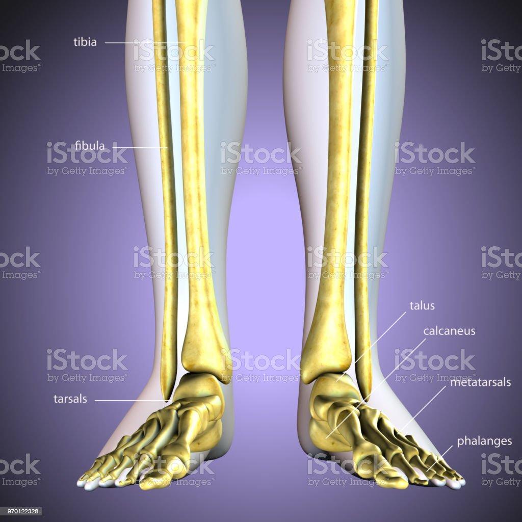 3d Render Of Foot Anatomy Bones Foot Bone Metatarsal Bone Stock ...