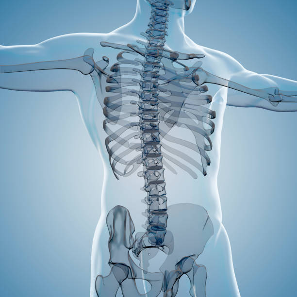 3d render of human body and skeleton - biomedical illustration stock photos and pictures