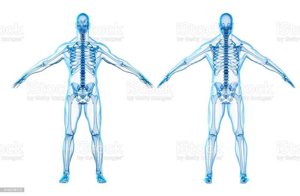 3 D Render Des Menschlichen Körpers Und Skelett Stock-Fotografie und ...