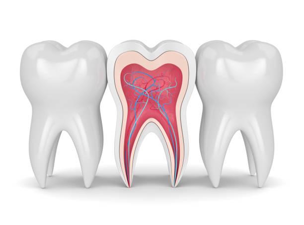 3d render van tanden met zenuwen en bloed vesselss - dentine stockfoto's en -beelden
