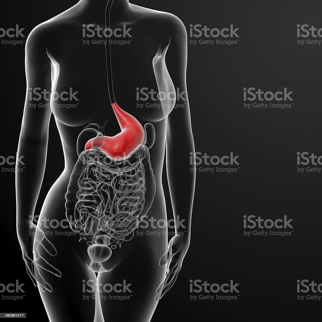 Renderizado 3d De La Mujer Estómago - Fotografía de stock y más ...