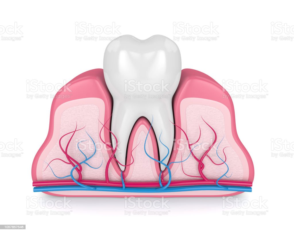 3d render of tooth with nerves and blood vessels stock photo