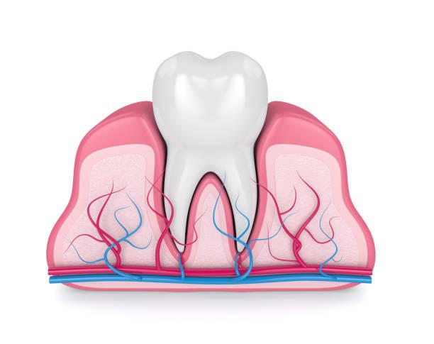 3d render van tand met zenuwen en bloedvaten - dentine stockfoto's en -beelden