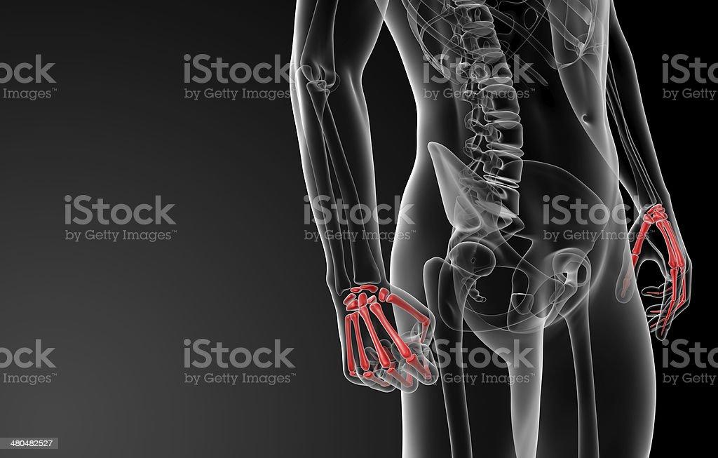 3d Render Skeletal Hand Stock Photo More Pictures Of Anatomy Istock