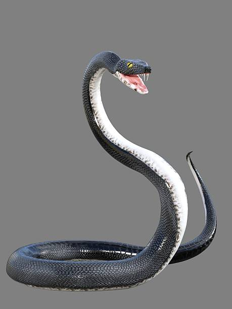 3d rendered black viper Rendered illustration of black snake with bared fangs isolated fang stock pictures, royalty-free photos & images