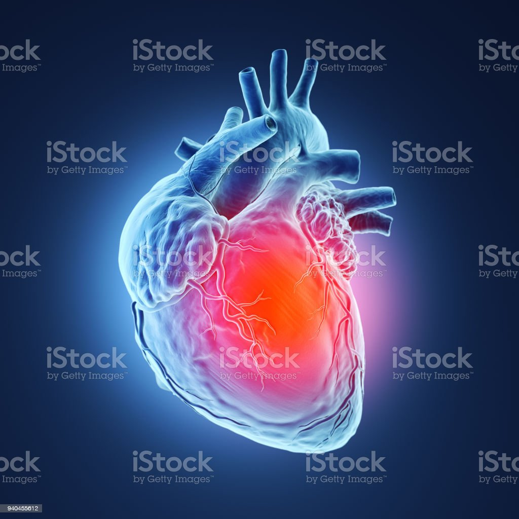 3d rendered human heart. stock photo