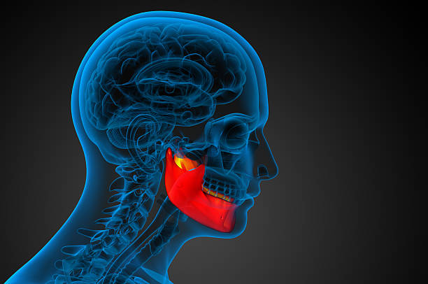 3 d prestado ilustración-hueso de mandíbula - mandibula fotografías e imágenes de stock