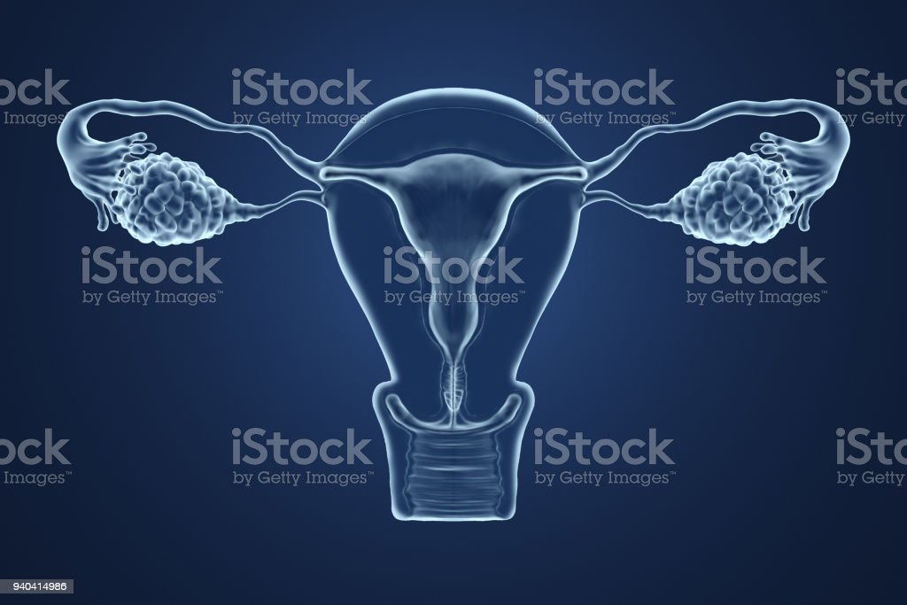 3d rendered illustration of an x-ray of the uterus. stock photo