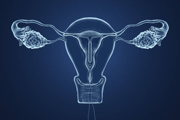 3d rendered illustration of an x-ray of the uterus. - gynecologist stock pictures, royalty-free photos & images