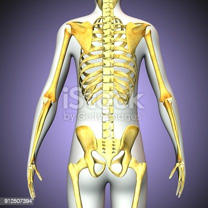 3d Rendered Illustration Of Human Skeleton Back View Stock Photo ...