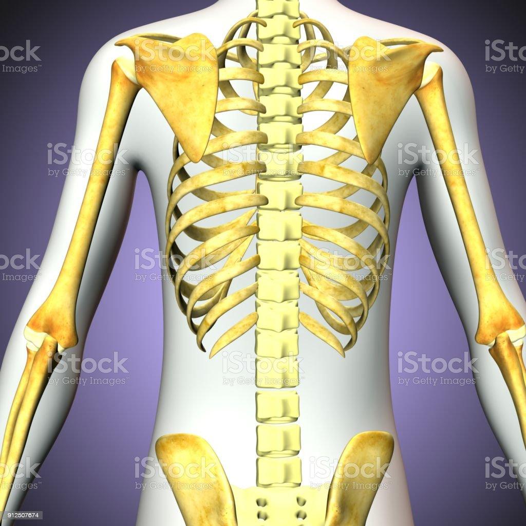 3d rendered illustration of human skeleton back view stock photo 3d rendered illustration of human skeleton back view royalty free stock photo ccuart Gallery