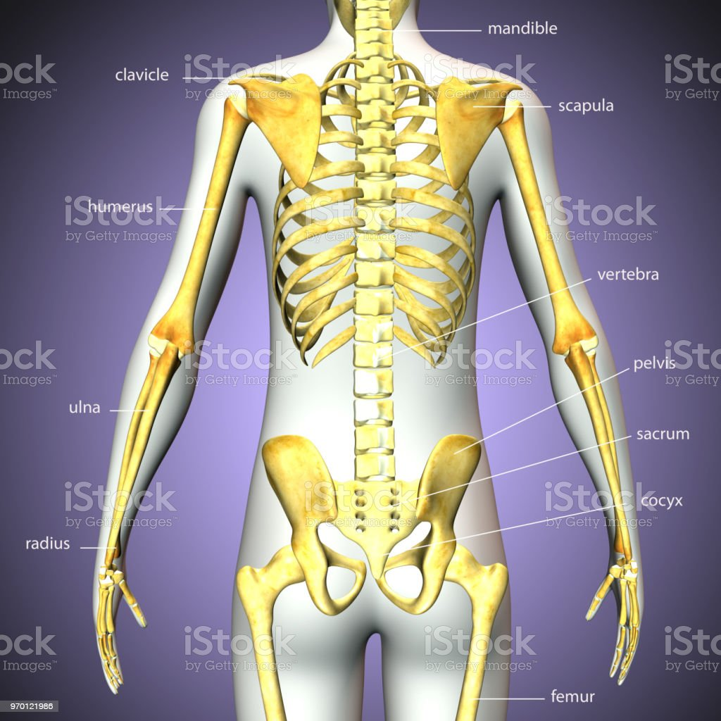 3d Rendered Illustration Of Human Skeleton Back View Stock Photo