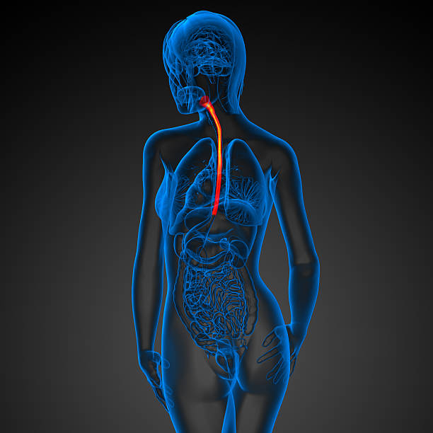 3d rendered illustration of the esophagus - esophagus stock photos and pictures