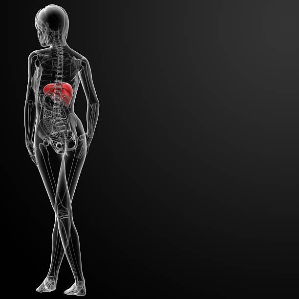 Aus 3 d illustration der weibliche liver – Foto