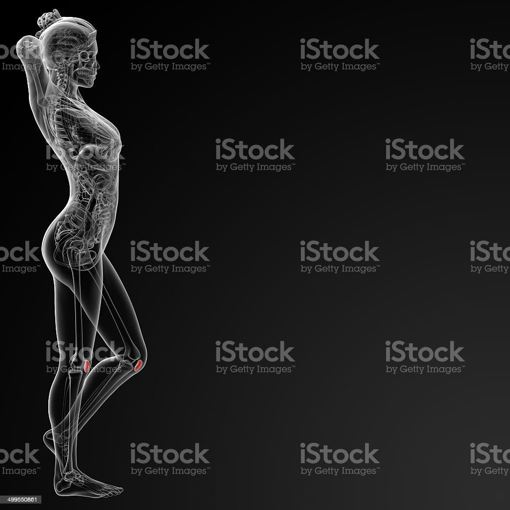 Aus 3 D Illustration Der Weibliche Kniescheibe Bone Stock-Fotografie ...
