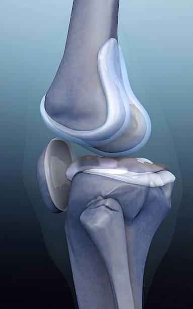 3d rendered knee illustration - knäskål bildbanksfoton och bilder