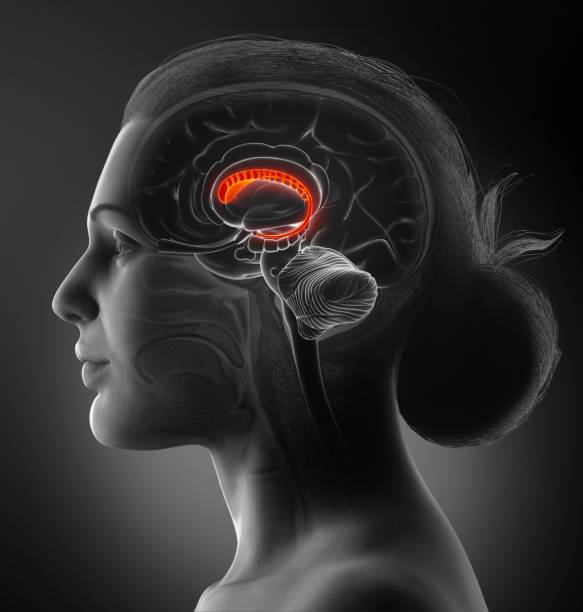 3d rendered medically accurate illustration of a female brains anatomy-the caudate nucleus 3d rendered medically accurate illustration of a female brains anatomy-the caudate nucleus lateral ventricle stock pictures, royalty-free photos & images